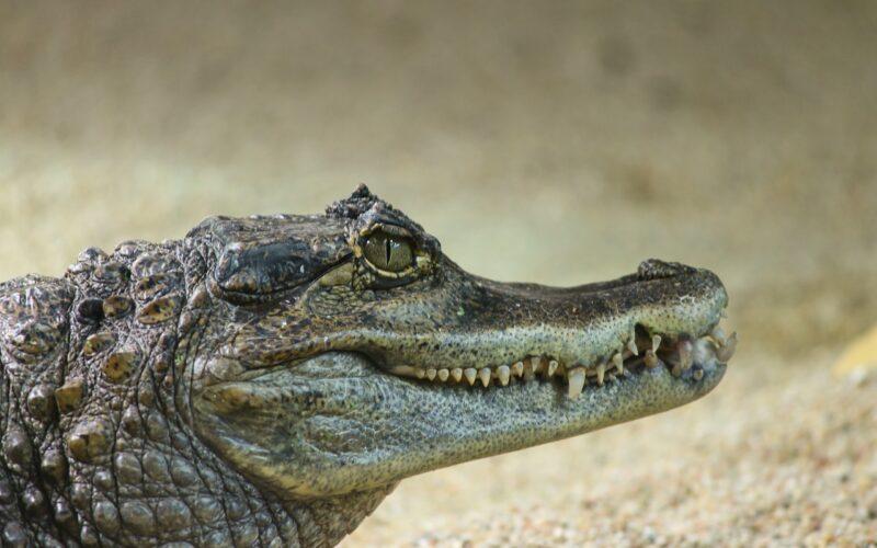 Soñar con un caimán